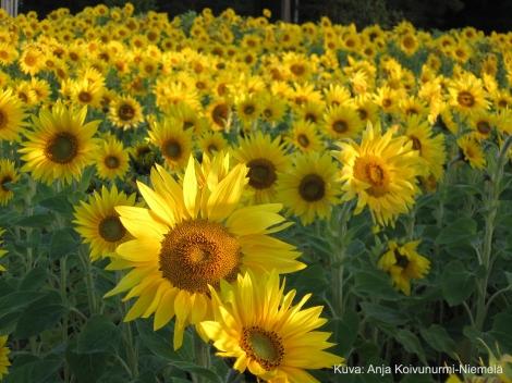 Auringonkukkapelto_2010_koivunurmi_niemelä